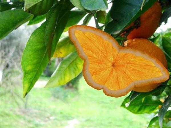 Бабочка-апельсин, оригинал