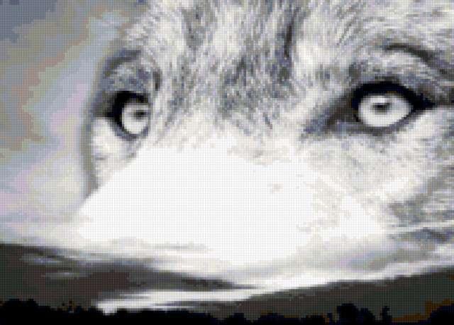 Глаза волка, волк, глаза,
