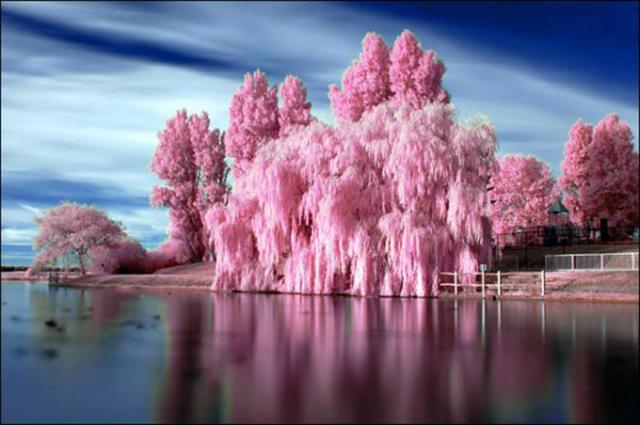 Розовые деревья, пейзаж