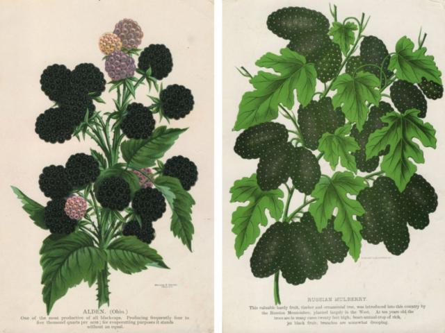 Ежевика и шелковица, ягоды