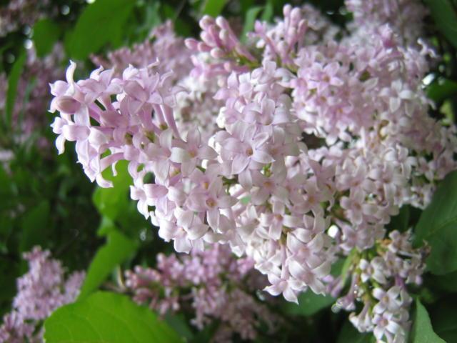 Ветка сирени, цветы
