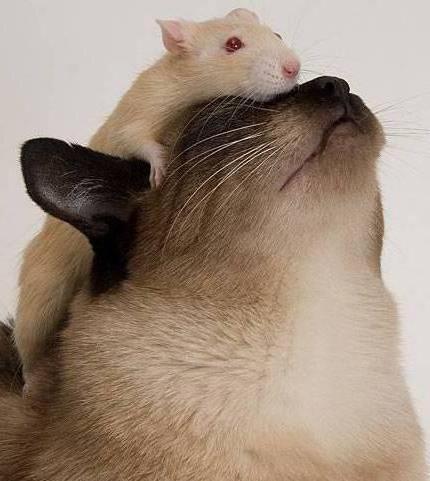 кошка, мышь, крыса