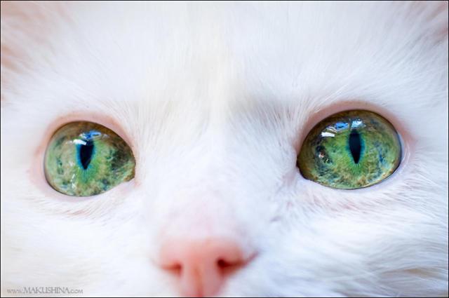 Белая кошка с зелеными глазами