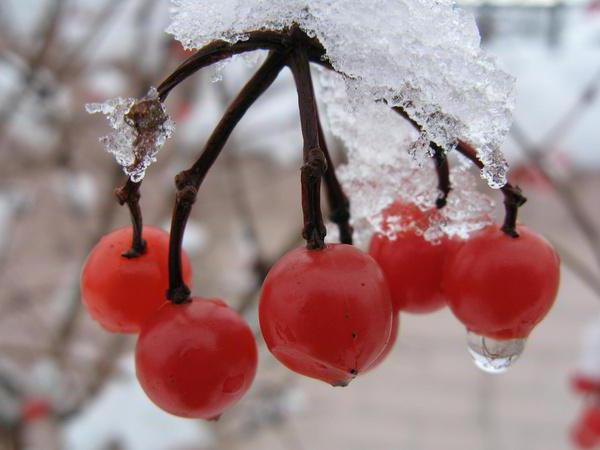 Калина, ягоды, снег, калина