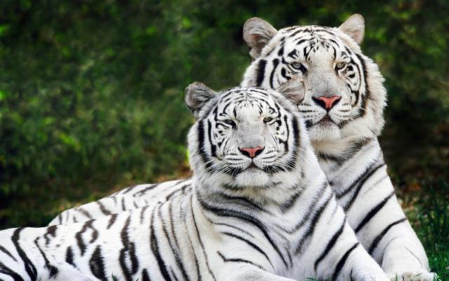 Белые тигры, оригинал