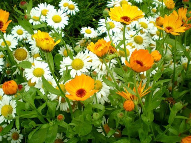 Цветы полевые цветы ромашки маки