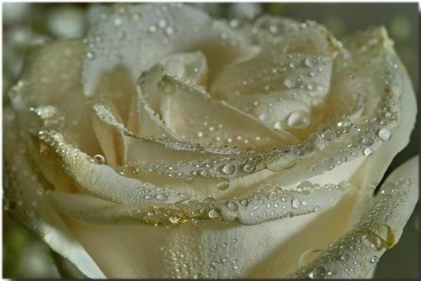 Роза в росе, оригинал