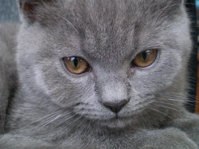 Лайт, британский кот