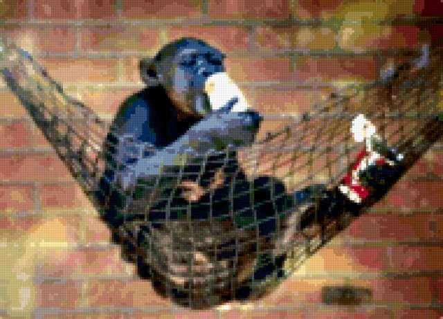 Шимпанзе, предпросмотр