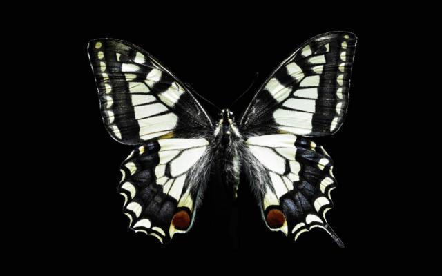 Бабочка черно-белая, бабочки,
