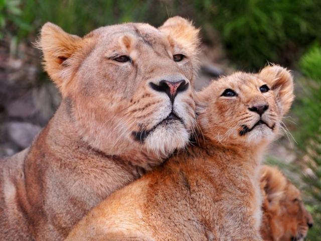 Львица со львятами, оригинал