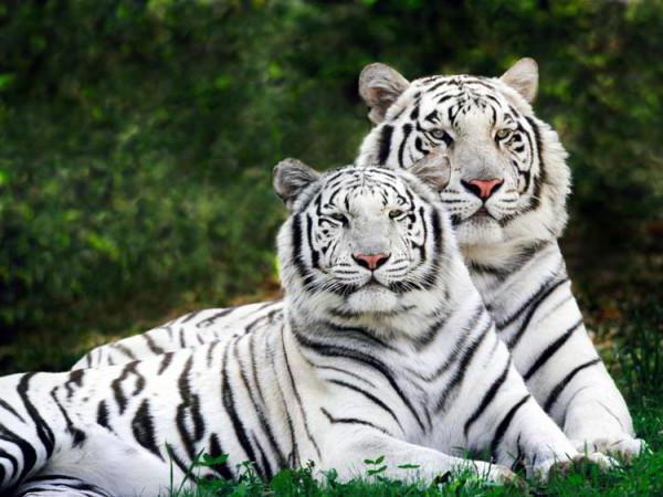 Пара белых тигров, тигр,