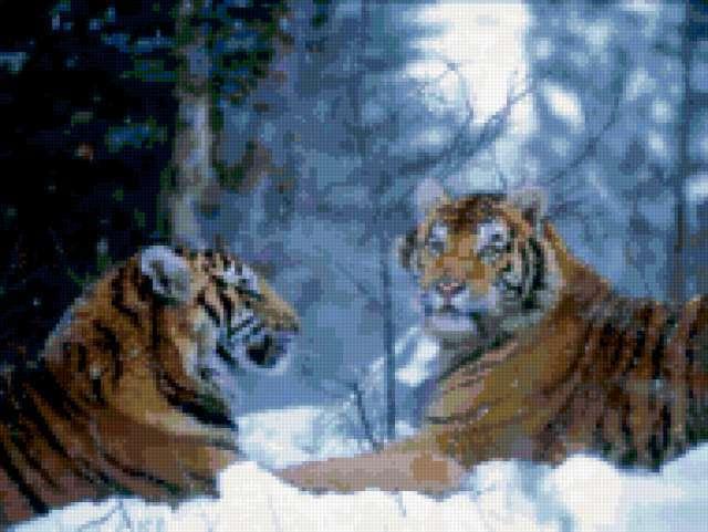 Пара тигров на снегу,