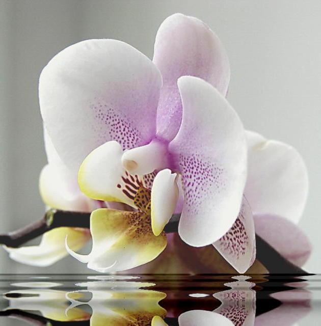 Орхидея на воде, оригинал