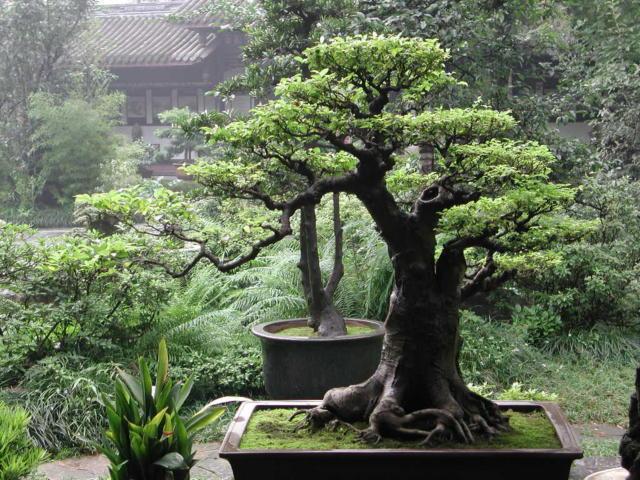 Bonsai, бонзай, дерево