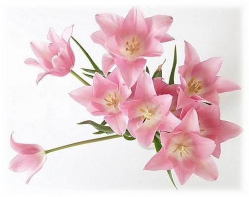 Розовые лилии, лилии.цветы