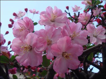Нежные цветы сакуры, оригинал