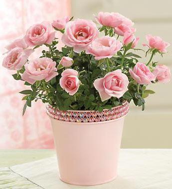 Розы в горшке, розы