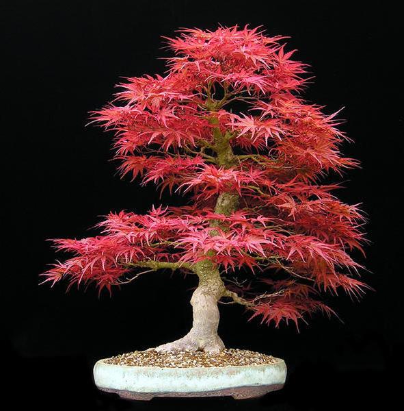 Бонсай Клён, бонсай, дерево,
