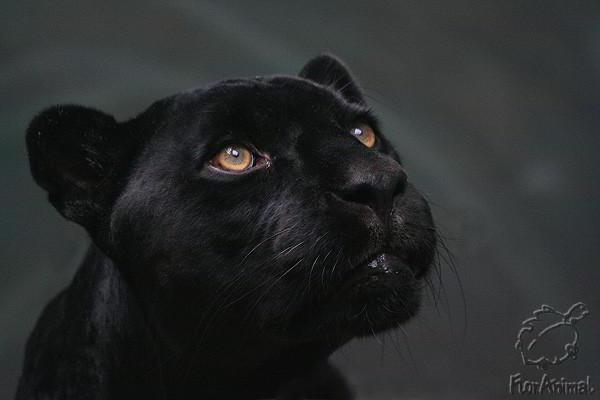 Пантера-2, оригинал