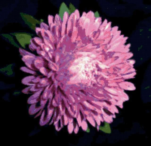цветы, цветок, астры