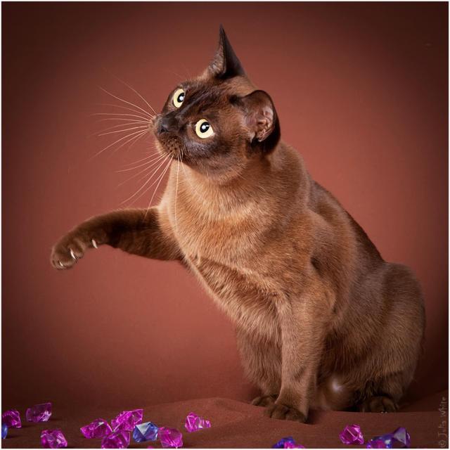 Сиамский кот, оригинал