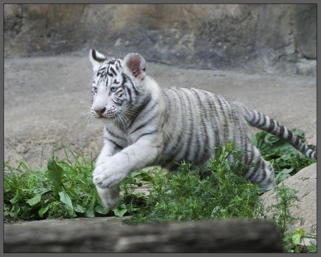 Прыжок, тигр, прыжок