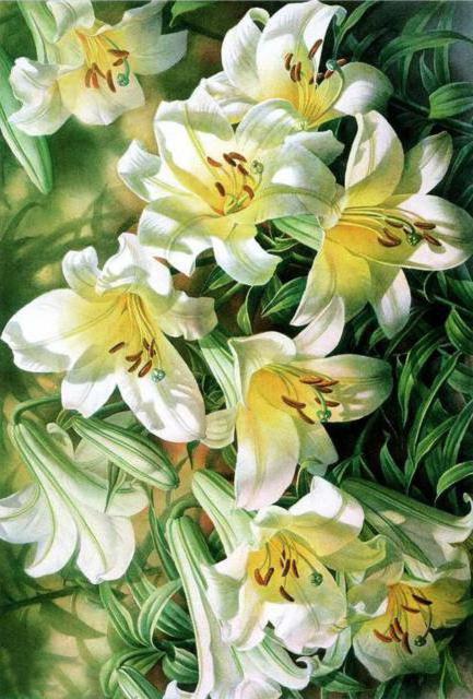 Белые лилии, белая лилия,