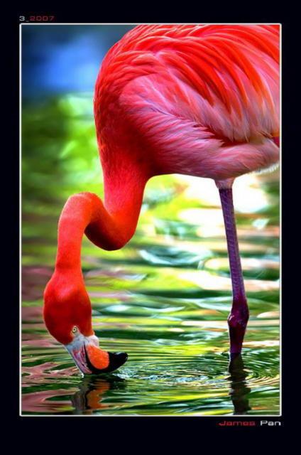 розовый фламинго, птицы