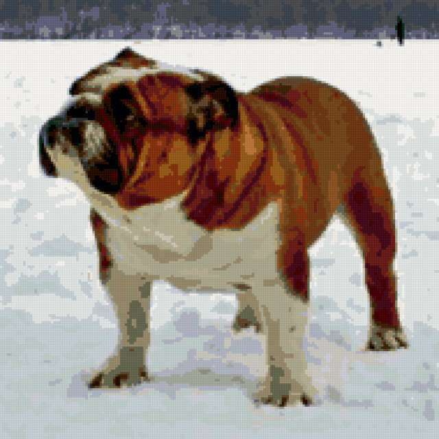 Английский бульдог, собаки