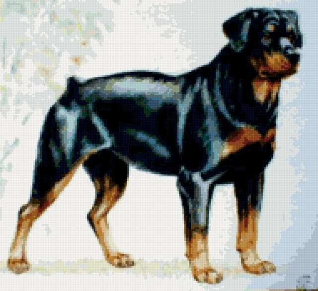 собака, ротвейлер, порода,