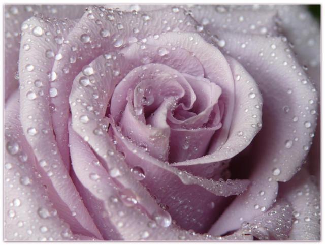 Роза в росе, розы, роза,