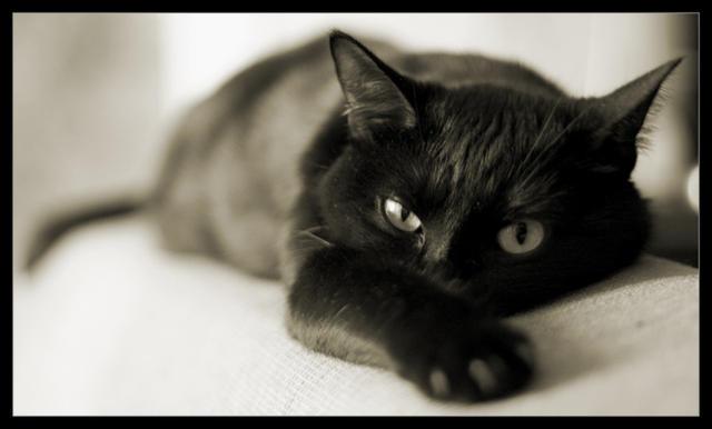 Черный кот, кошки