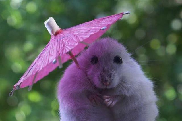 Хомяк с зонтиком, оригинал