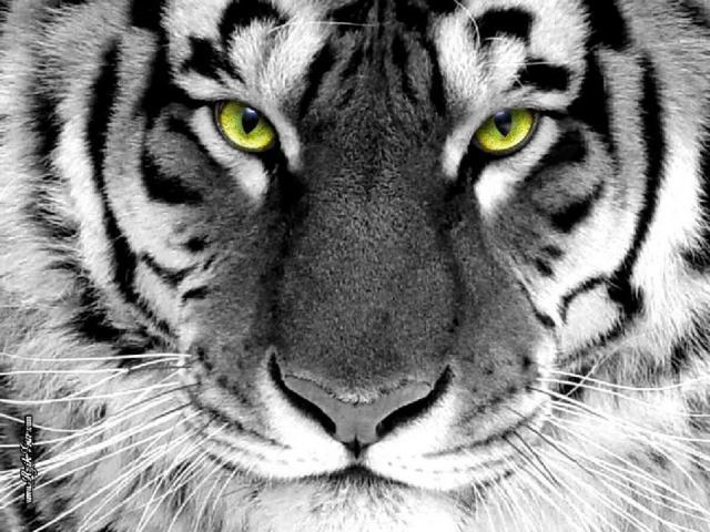 Черно-белый тигр, оригинал