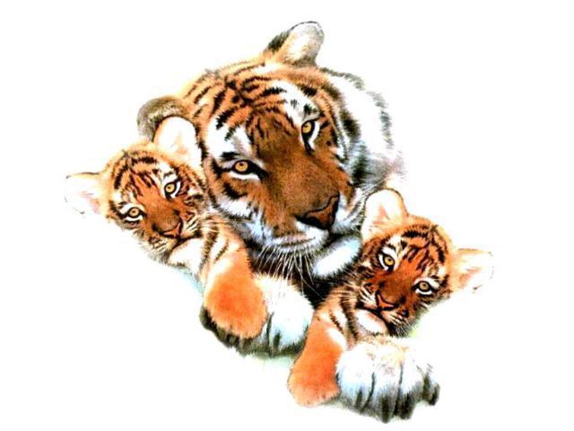 Тигрица и тигрята, тигр,