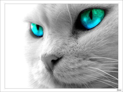 Белый кот, оригинал
