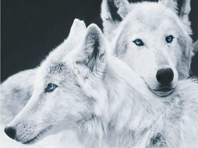 Два белых волка, оригинал