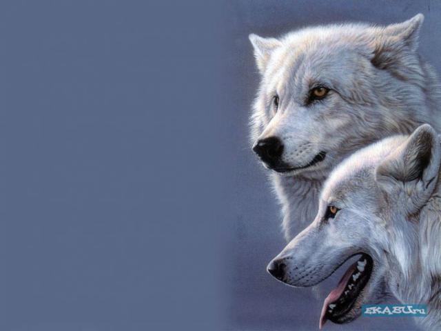 Белые волки, оригинал