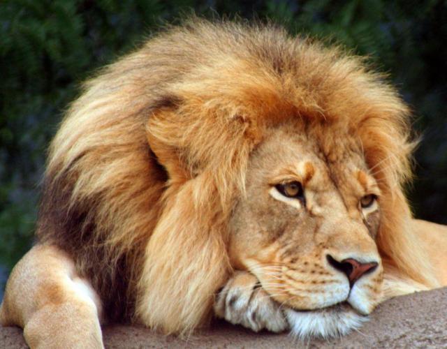 Царь зверей - лев, хищник,