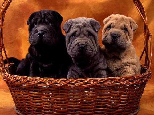 Малыши шарпей, собачки, малыши