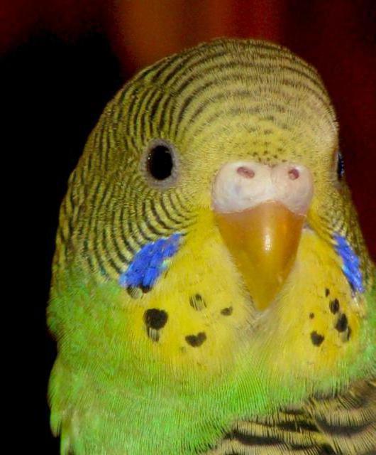 Волнистый попугай, оригинал