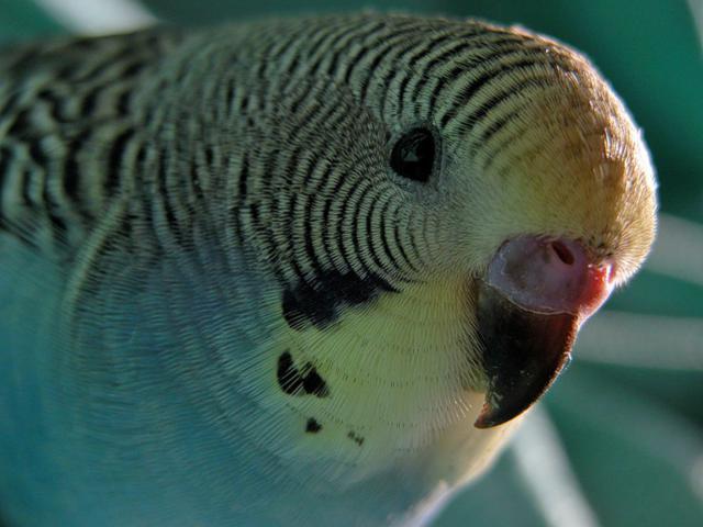 Волнистый попугай 2, оригинал