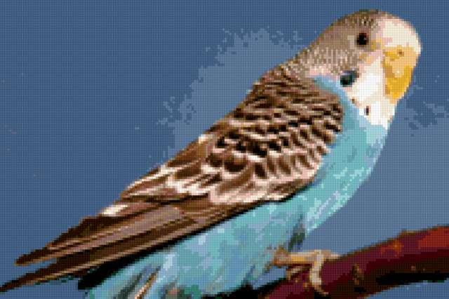 Волнистый попугай 3