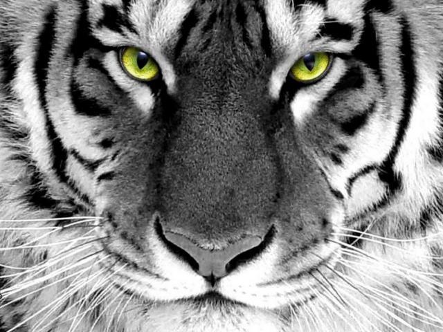 Схема вышивки «Взгляд тигра 2»