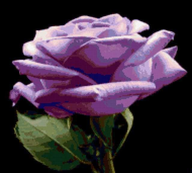 Голубая роза на чёрном,