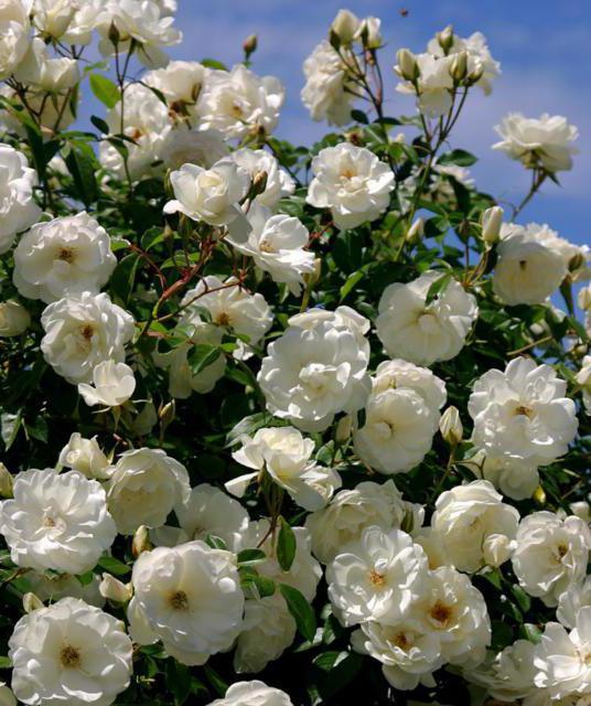 Куст белых роз, розы