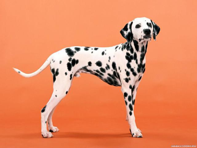 Далматинец, животное, собака