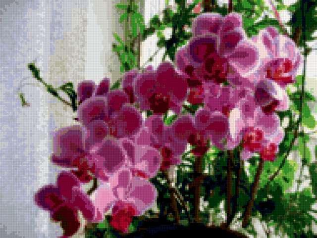 Цветы орхидея домашняя