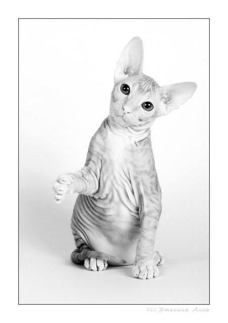 Донской сфинкс-7, кошки,